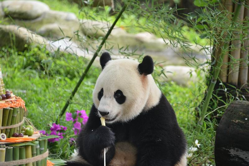 Панду Синь-Синь из Китая нак…