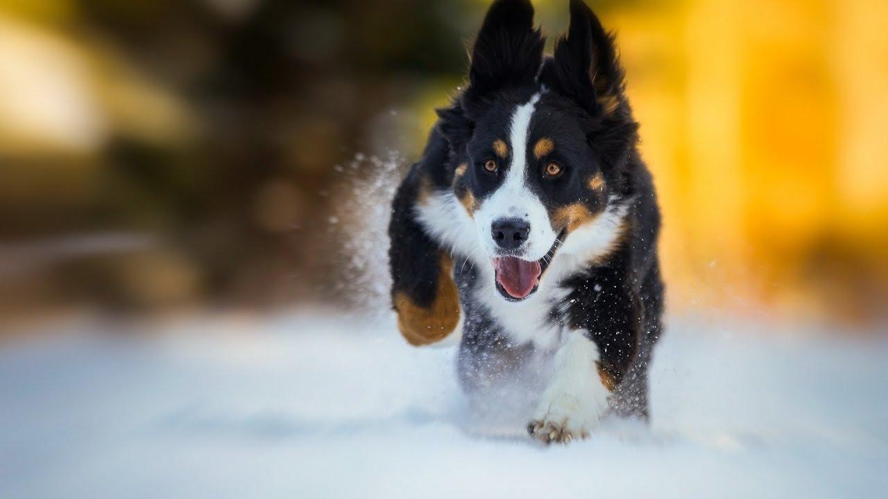 17 чертовски милых гифок с собаками, которые очень любят снег