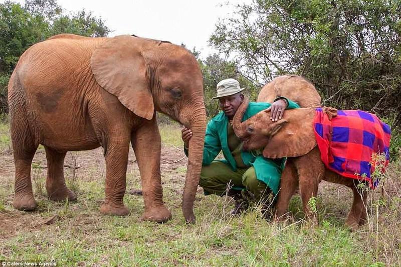 Поначалу Мбегу (справа) была робкой, но потом ее приняли в стадо детеныш, животные, история, кения, люди, мир, слониха, спасение