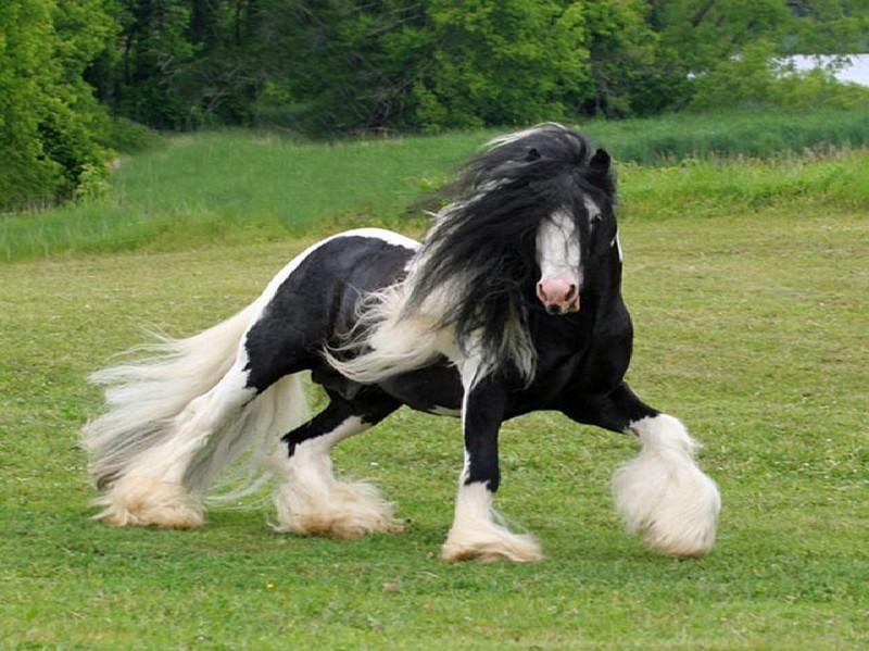 Шайры - самые крупные лошади на планете