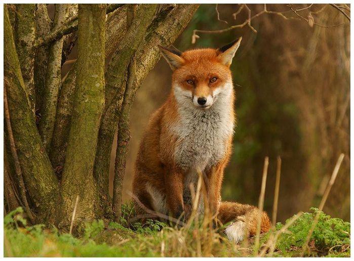 fox_20120409_00640_043 (700x500, 78Kb)