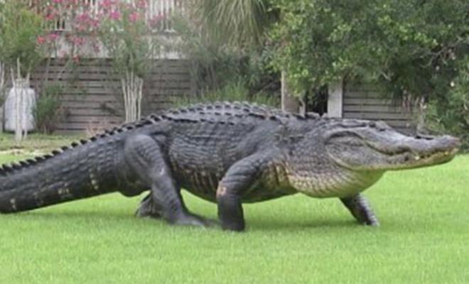 Чудовище из болота: огромный аллигатор вышел прямо к людям