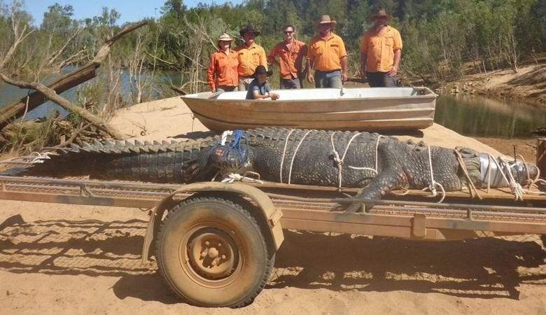 После десятилетия охоты в Австралии поймали легендарного крокодила
