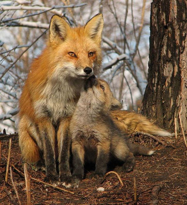 fox_20120409_00640_001 (637x700, 115Kb)