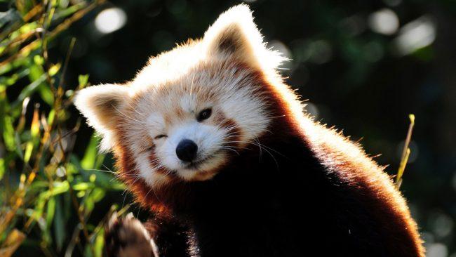 Красная панда (фото): Миниатюрный огненный «медвежонок»