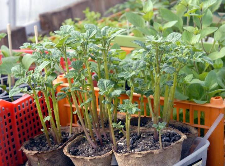 вырастить картофель из семян собак,груминг(центр),выезд Что