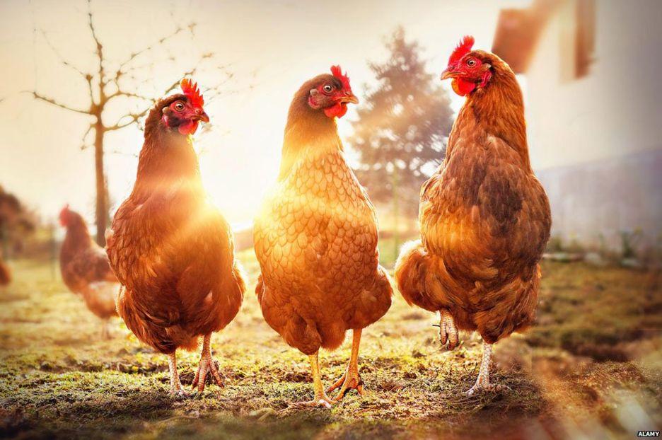 Ни одна курица не пострадала