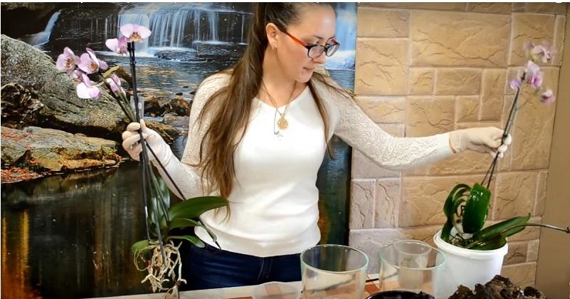 Все секреты выращивания орхидей дома. Это средство — настоящая находка для всех любителей орхидей