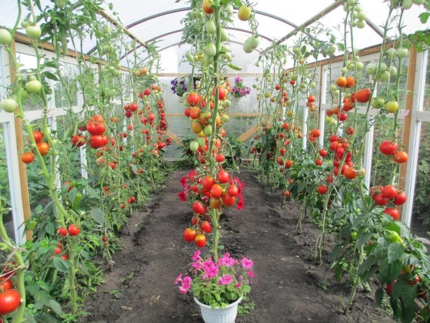 Проект по выращиванию помидоров 344