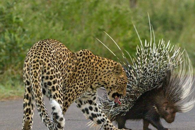 Глупый леопард напал на дикобраза и пожалел об этом на всю жизнь