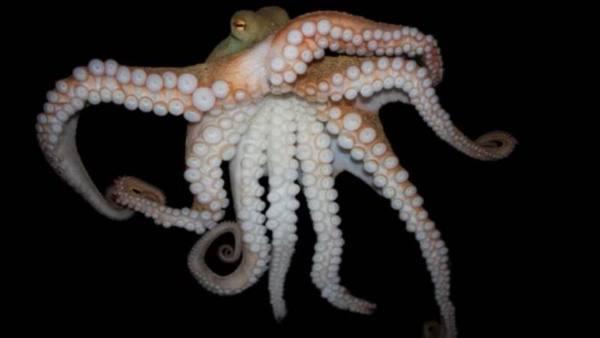 Исследователи выяснили, при каких условиях осьминоги становятся более социальными