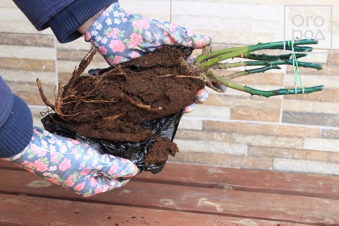 Как правильно посадить розы в открытый грунт весной