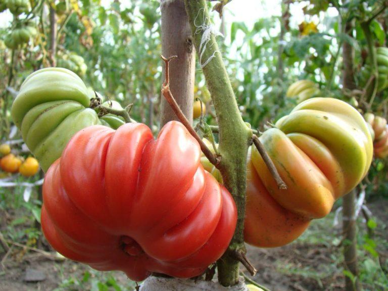 Лотарингская красавица: томат, который удивит и соседей и родных