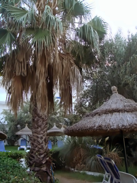 Пальма тунисская