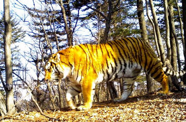 На одной тропе в Приморье камеры-ловушки сняли сразу четыре вида диких кошек