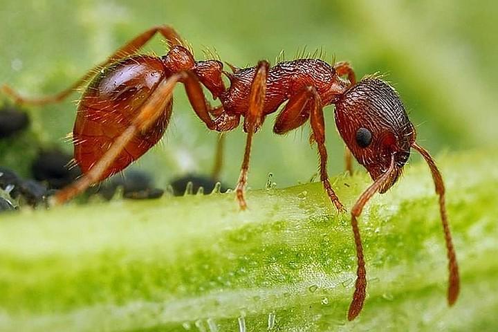 Самым быстрым существом на планете признан муравей-дракула