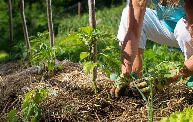 Выращивание перца на соломе – секреты хорошего урожая