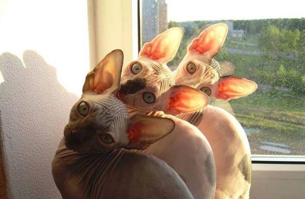 Синхронизированные коты