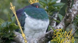 В Новой Зеландии пьяный голубь стал птицей года. А еще говорят, что алкоголизм присущ только человеку..