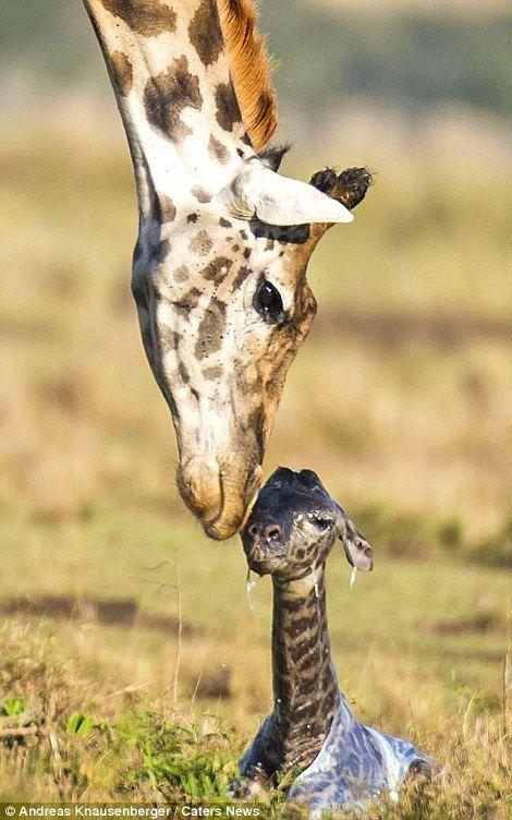 Настоящее чудо! Бесценные кадры рождения жирафа