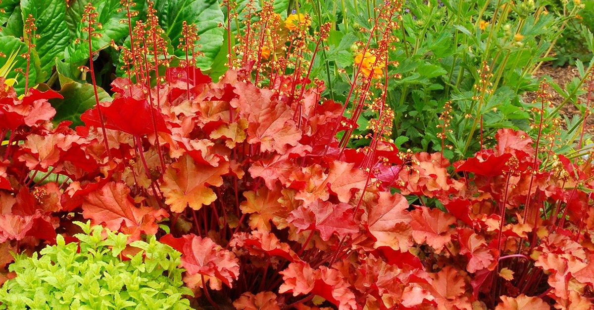 7 особенностей выращивания гейхеры