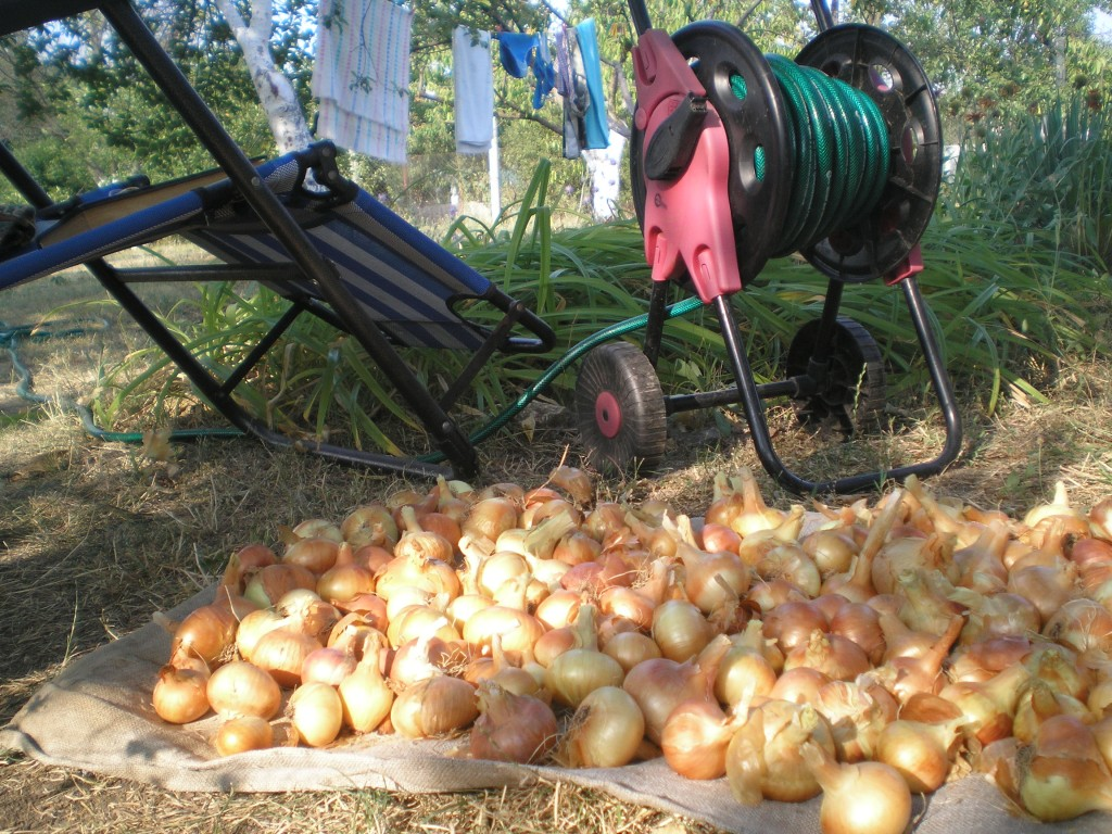 Выращивание лука по китайски