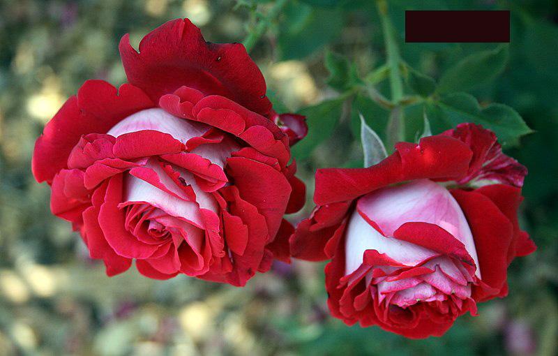2822672931 847e36b37c o Роза сорта Osiria