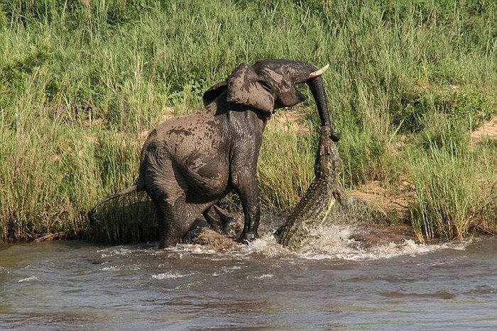 А говорят, что крокодилы не летают африка, крокодил, слон