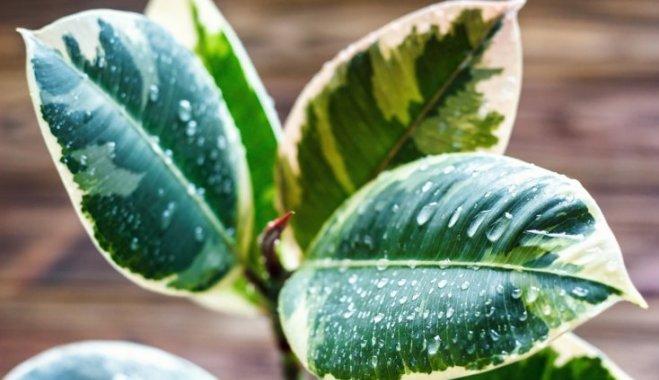 Как ухаживать за фикусом зимой: три полезных совета
