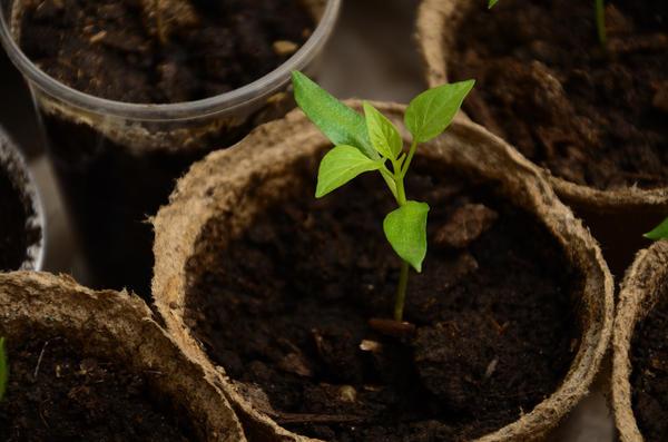 Торфяные горшочки плохо подходят для выращивания рассады перца