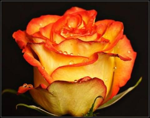 """"""" Уход за розами """""""