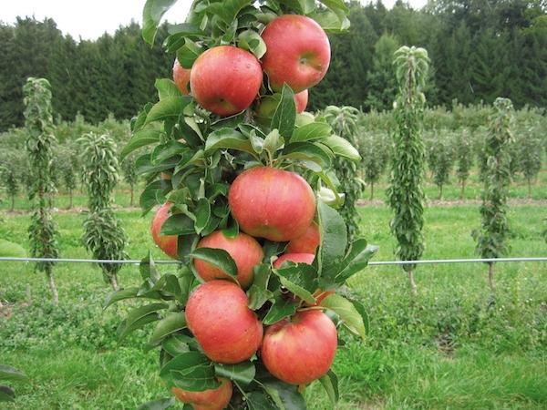 Сажаем колоновидные яблони, чтобы собирать богатые урожаи