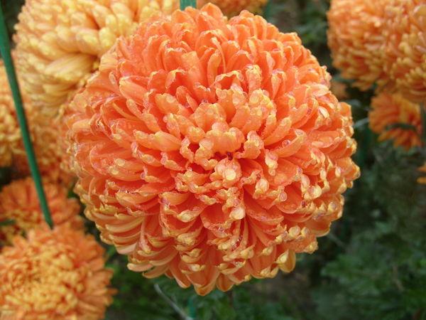 Несравненный оранжевый сорт Astro Bronze