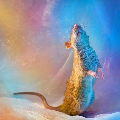 Фотографии прелестных крыс, ломающие стереотипы об этих животных (19 фото)