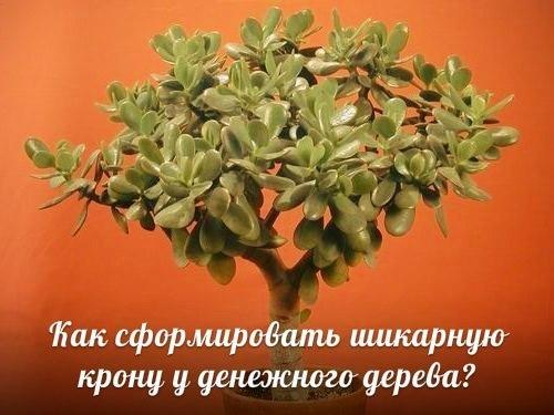 Как сформировать ШИКАРНУЮ крону у денежного дерева?