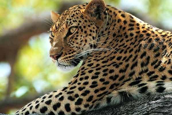 Панарский леопард