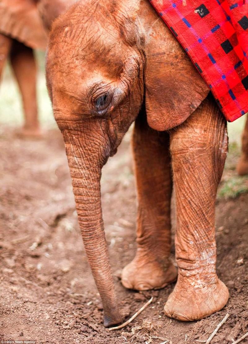 Малышку укрывают одеялом, чтобы ей было комфортно детеныш, животные, история, кения, люди, мир, слониха, спасение