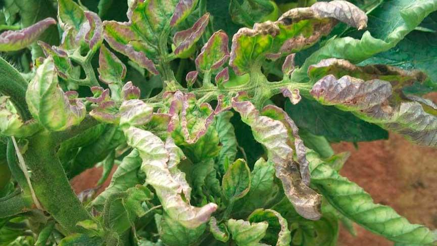 Удаляем листья – спасаемся от фитофторы