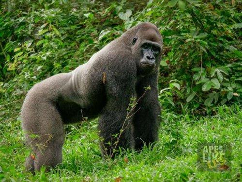 Нежная горилла заводит крошечного друга