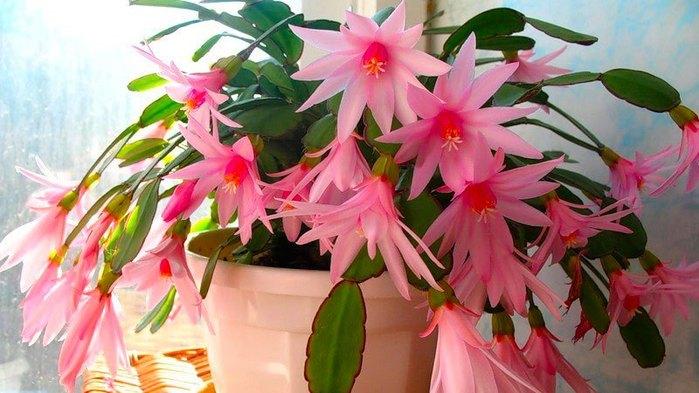 5 лучших подкормок декабриста для пышного цветения зимой.