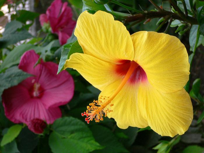 Гибискус - король тропических цветов. Обсуждение на LiveInternet - Российский Сервис Онлайн-Дневников