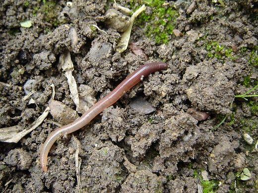 Дождевые черви — невидимые пахари