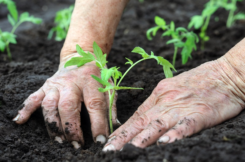 опрыскивание растений борной кислотой