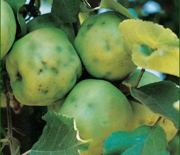 Почему на яблоках появились горькие точки и что с этим делать