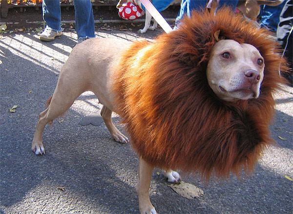 11. Лев. Просто лев Животные без шерсти, бедные животные, груминг, нелепость, подстригли, стрижка собак, стрижки, хозяева животные