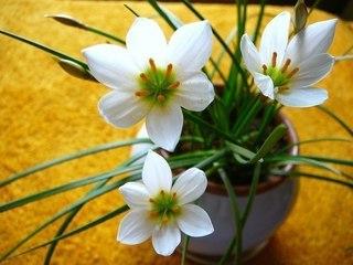 """Зефирантес - """"цветок западного ветра"""" (выскочка). Правильный уход."""