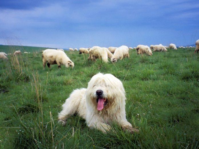 Вот тебе и профессиональный пастух, называется