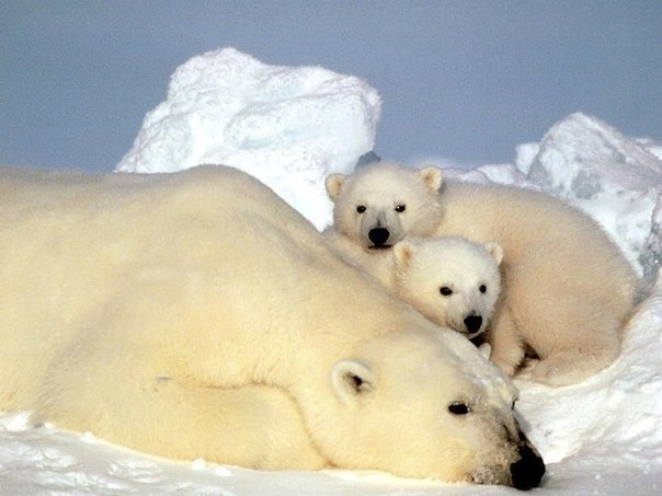 Остров Врангеля – мир белых медведей!