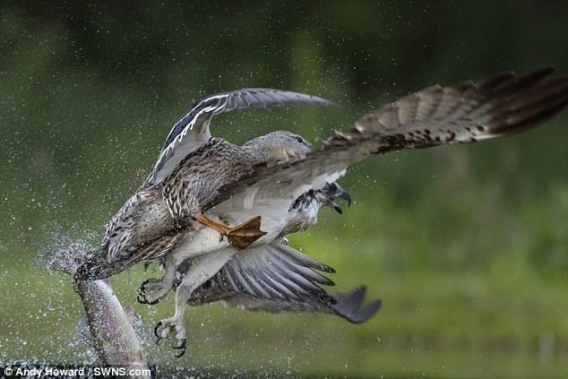 Эпичная схватка: дикая утка атаковала скопу и оставила без обеда