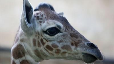 В зоопарке Калининграда родился жираф (ФОТО)